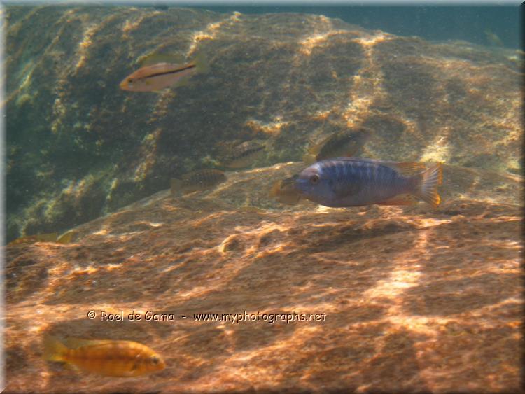 Lake malawi cichlids fish for Lake malawi fish